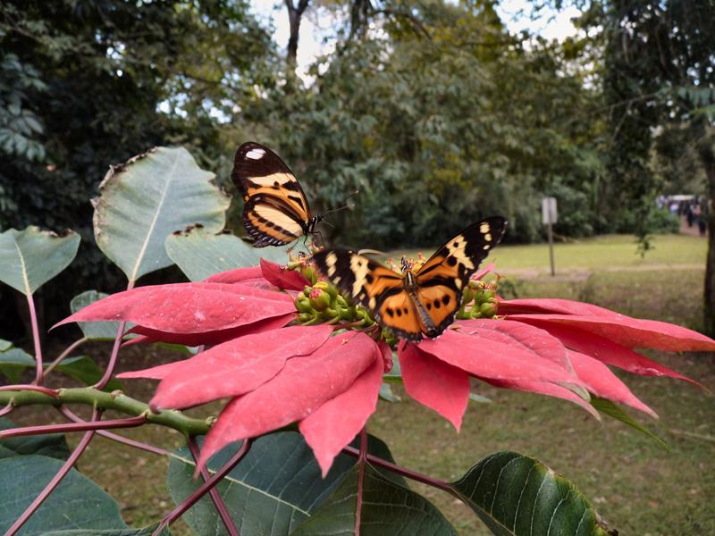 Un papillon des tropiques sur une rose géante de Nöel (Poinsettia, véritable arbre ici)