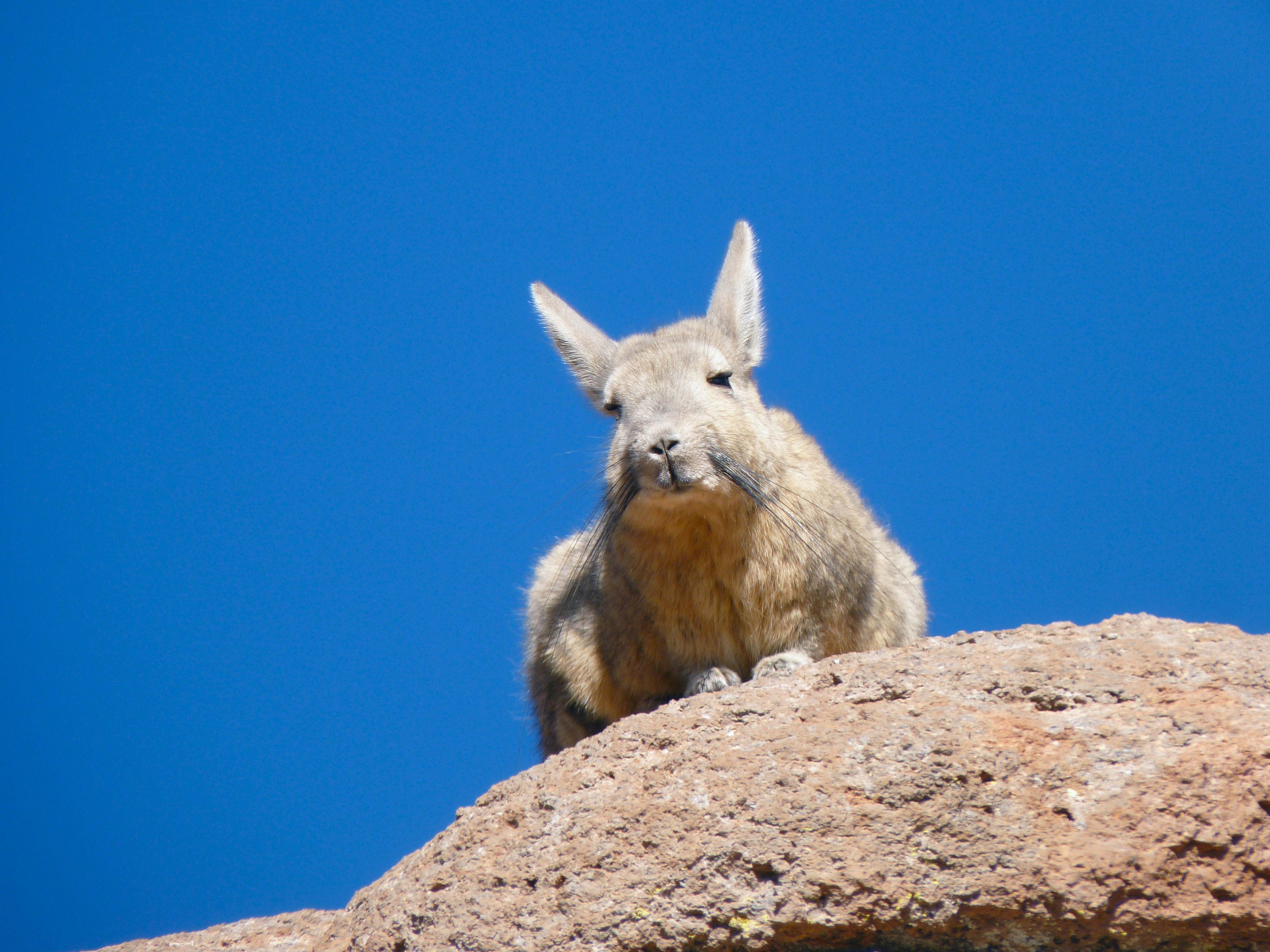 A ces hauteurs extrêmes, la vie s'encourage à se maintenir : des lapins géants se nourrissent de lichens verdoyants