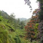 inde-sud-23-juillet-munnar-enr-web-800-P1020941